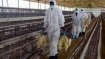 H5N1 virus: Culling of chicken opposed by locals