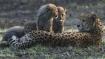 Cheetahs face extinction risk as global population declines