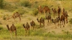 13 camels being smuggled to UP for slaughter rescued in Gurgaon