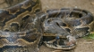 9-foot-long python rescued in Agra