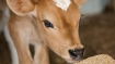 Qatar: Businessman plans to airlift 4000 cows to boost its milk supply
