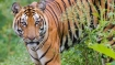 India is losing its tigers fast, poachers on prowl
