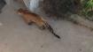Karnataka: Leopard enters a house in Tumkur, creates panic