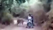 Surrounded by tigers, Watch how bikers escape unscathed
