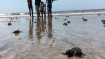 Thanks to 127 weeks cleanup, Olive Ridley turtles are back on Mumbai beach after 20 years