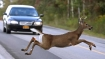 Belgium: Drivers on roads told to be careful because of sexually charged deer