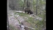 Bear stoned mercilessly, it tumbles off cliff into stream