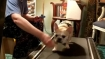 This cute dog does treadmill exercise but only when offered cookies
