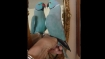 This self-obsessed parrot kisses itself; watch video to see how it did it