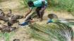 Mystery: 47 peacocks found dead near Madurai