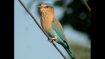 How superstitions surrounding Dasara is killing this beautiful bird