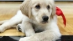 This job in Texas pays $100 an hour for playing with puppies