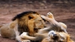 Gujarat to set up Rs 50 crore state-of-the-art hospital for Asiatic lions