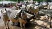 Guj govt gets dressing down on cattle export