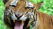 Tigers could become extinct within a decade,  if we don't act now