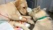 At a vet's clinic, sick dog gets comforted by 'assistant' dog; image goes viral