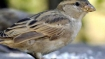 #WorldSparrowDay: Mobile tower radiation causing extensive damage to sparrows, once a common bird