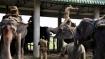 Assam elephants to endure a 70-hour journey for Jagannath Yatra, activists livid