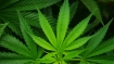 Odisha: 72 kgs cannabis seized, seven ganja smugglers arrested