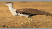 Extinction of Great Indian Bustard, lesser florican: SC forms panel to frame emergency plan