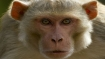 Monkey business: SDMC unwilling, HC unrelenting; Who will catch the apes?