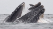 Stunning image captures sea lion falling into mouth of whale