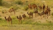 Amid bushfire crisis, Australia to kill 10,000 camels because they drink too much water