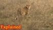 Extinct for 60 years, Cheetahs to run again in Indian jungles