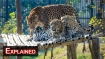 Numbers on decline: After tigers, is it time for 'save leopard' project in India