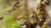 Bee attack during funeral leaves 50 injured in MP's Gorakhpur village
