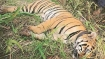 MP: Tigress found dead in Panna reserve; 4th death in 10 days