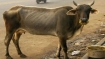 Now, pregnant cow's jaw blown off by explosive in Himachal