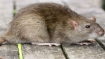 What is Bubonic Plague or Black Death? China sounds alert as new disease reported in Bayan Nur