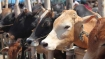 One held in Mumbai for killing cows