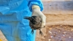 Bird flu scare in Jharkhand as several crows, mynas found dead on streets