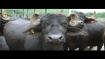 Around 25 buffaloes die in Odisha's Kendrapara district, trigger panic