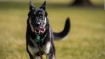 Biden's dog 'Major' involved in second biting incident of the month