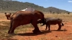 Watch video: Rare friendship between elephant and buffalo blossoms