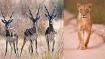 Lioness, four blackbucks found dead near dam in Gujarat