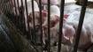 Mizoram yet to contain African Swine Fever
