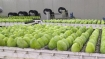 For the first time, famous Jardalu mangoes from Bhagalpur reaches UK
