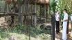 Infected Asiatic lion on antibiotic regime