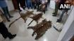 Skins of tiger, leopard seized from Odisha's Kalahandi; 8 persons arrested