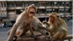 Monkey B virus: Causes, symptoms, transmission; Is it contagious?