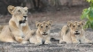 World Lion Day 2021: PM Modi shares stunning images of king of the jungle