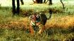 'Black Tigers': Why Similipal tigers in Odisha changed their stripes
