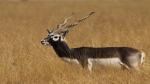 Poachers killed 139 blackbucks between 2008-18, 108 arrested: RTI data