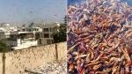 Tiddi ka BBQ ya Biryani bana sakte hai: Pakistan minister advises as Locus swarm across Karachi