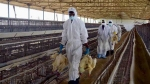 Bird flu in poultry farms: Odisha to cull chickens in and around agri tech university