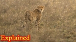 Extinct for 60 years, Cheetahs to run again in Indian jungles